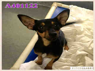 Mix-Bred MINIATURE PINSCHER Male  Adult  Dog #A401122#  - click here to view larger pic