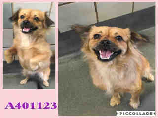 Mix-Bred PEKINGESE Female  Adult  Dog #A401123#  - click here to view larger pic