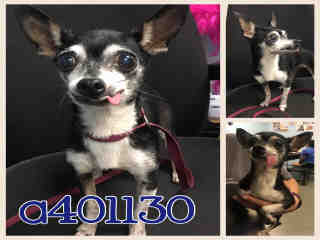 Mix-Bred CHIHUAHUA - SMOOTH COATED Female  Adult  Dog #A401130#  - click here to view larger pic