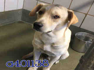 LABRADOR RETRIEVER Male  Adult  Dog #A401138#  - click here to view larger pic