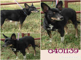 MINIATURE PINSCHER Female  Adult  Dog #A401139#  - click here to view larger pic