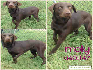 LABRADOR RETRIEVER Female  Young  Puppy #A401147#  - click here to view larger pic