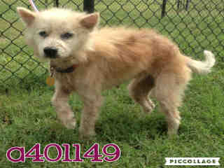 Mix-Bred TERRIER Female  Adult  Dog #A401149#  - click here to view larger pic