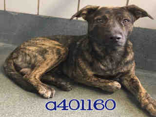 Mix-Bred AMERICAN STAFFORDSHIRE TERRIER Male  Young  Puppy #A401160#  - click here to view larger pic
