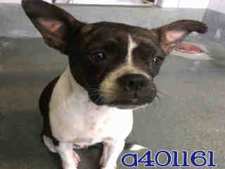 Mix-Bred BOSTON TERRIER Female  Young  Puppy #A401161#  - click here to view larger pic