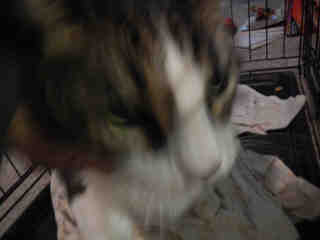 Mix-Bred DOMESTIC SHORTHAIR Male  Adult  Cat #A401182#  - click here to view larger pic
