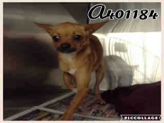 CHIHUAHUA - SMOOTH COATED Male  Young  Puppy #A401184#  - click here to view larger pic