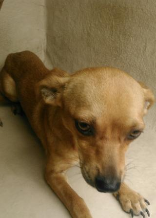CHIHUAHUA - SMOOTH COATED Male  Adult  Dog #A401188#  - click here to view larger pic