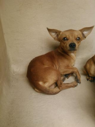 CHIHUAHUA - SMOOTH COATED Male  Adult  Dog #A401189#  - click here to view larger pic