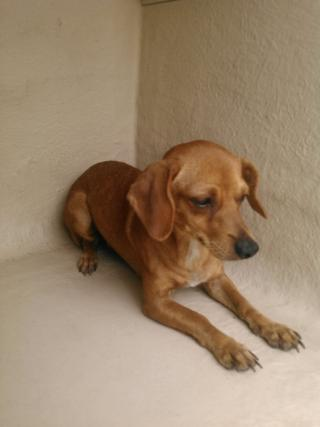 CHIHUAHUA - SMOOTH COATED Female  Adult  Dog #A401191#  - click here to view larger pic