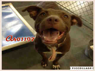 AMERICAN STAFFORDSHIRE TERRIER Female  Adult  Dog #A401197#  - click here to view larger pic