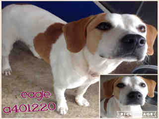 Mix-Bred BEAGLE Male  Young  Puppy #A401220#  - click here to view larger pic
