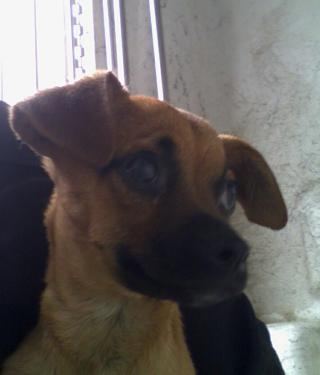 Mix-Bred CHIHUAHUA - SMOOTH COATED Male  Young  Puppy #A401223#  - click here to view larger pic