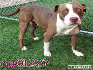 Mix-Bred STAFFORDSHIRE BULL TERRIER Female  Adult  Dog #A401227#  - click here to view larger pic