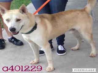 ALASKAN HUSKY Male  Adult  Dog #A401229#  - click here to view larger pic