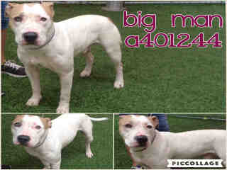 AMERICAN STAFFORDSHIRE TERRIER Male  Adult  Dog #A401244#  - click here to view larger pic