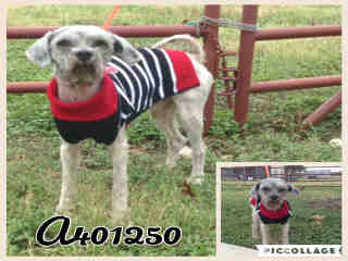 Mix-Bred SCHNAUZER - MINIATURE Male  Adult  Dog #A401250#  - click here to view larger pic