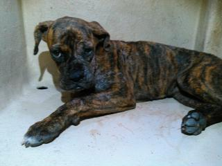 BOXER Female  Young  Puppy #A401282#  - click here to view larger pic