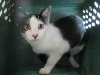 Mix-Bred DOMESTIC SHORTHAIR Female  Young  Kitten #A401318#  - click here to view larger pic