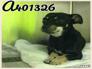 CHIHUAHUA - SMOOTH COATED Male  Adult  Dog #A401326#  - click here to view larger pic