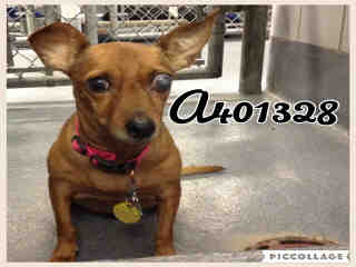 Mix-Bred DACHSHUND Female  Adult  Dog #A401328#  - click here to view larger pic