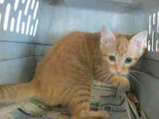 Mix-Bred DOMESTIC SHORTHAIR Female  Young  Kitten #A401341#  - click here to view larger pic