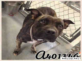 Mix-Bred AMERICAN STAFFORDSHIRE TERRIER Female  Adult  Dog #A401346#  - click here to view larger pic