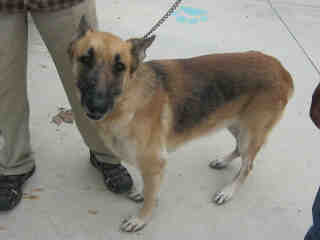 GERMAN SHEPHERD DOG Female  Adult  Dog #A401349#  - click here to view larger pic