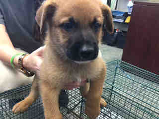 Mix-Bred SHEPHERD Male  Young  Puppy #A401361#  - click here to view larger pic