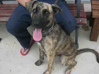 Mix-Bred SHEPHERD Male  Adult  Dog #A401376#  - click here to view larger pic