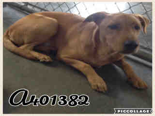 Mix-Bred LABRADOR RETRIEVER Male  Young  Puppy #A401382#  - click here to view larger pic