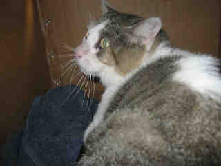 Mix-Bred DOMESTIC SHORTHAIR Female  Adult  Cat #A401386#  - click here to view larger pic