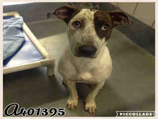 Mix-Bred AUSTRALIAN CATTLE DOG Female  Young  Puppy #A401395#  - click here to view larger pic