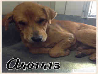 Mix-Bred GOLDEN RETRIEVER Male  Adult  Dog #A401415#  - click here to view larger pic