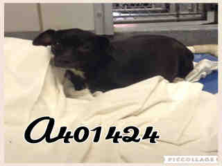 Mix-Bred CHIHUAHUA - SMOOTH COATED Female  Adult  Dog #A401424#  - click here to view larger pic