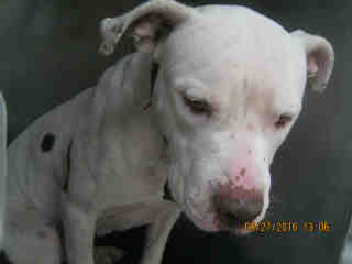 AMERICAN STAFFORDSHIRE TERRIER Male  Adult  Dog #A401430#  - click here to view larger pic