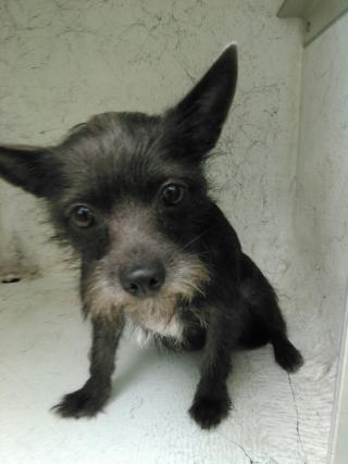Mix-Bred TERRIER Female  Adult  Dog #A401443#  - click here to view larger pic
