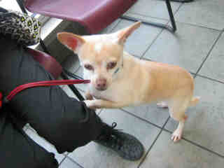 Mix-Bred CHIHUAHUA - SMOOTH COATED Male  Adult  Dog #A401488#  - click here to view larger pic