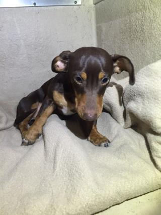 Mix-Bred DACHSHUND Male  Young  Puppy #A401514#  - click here to view larger pic