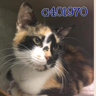 Mix-Bred DOMESTIC SHORTHAIR Female  Adult  Cat #A401970#  Animal Care Services (San Antonio) - click here to view larger pic