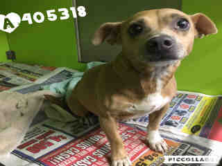 Mix-Bred CHIHUAHUA - SMOOTH COATED Female  Adult  Dog #A405318#  Animal Care Services (San Antonio) - click here to view larger pic