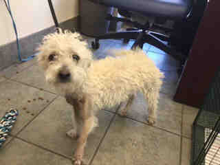 Mix-Bred POODLE - MINIATURE Female  Adult  Dog #A405614#  Animal Care Services (San Antonio) - click here to view larger pic