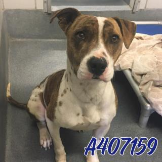 AMERICAN STAFFORDSHIRE TERRIER Male  Adult  Dog #A407159#  Animal Care Services (San Antonio) - click here to view larger pic