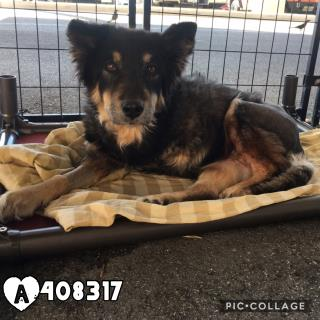 Mix-Bred AUSTRALIAN SHEPHERD Female  Older  Dog #A408317#  Animal Care Services (San Antonio) - click here to view larger pic