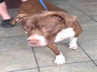 <u> Mix-Bred AMERICAN STAFFORDSHIRE TERRIER Female  Older  Dog  (Secondary Breed: BLEND)</u>