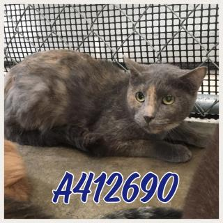 Mix-Bred DOMESTIC SHORTHAIR Female  Adult  Cat #A412690#  Animal Care Services (San Antonio) - click here to view larger pic
