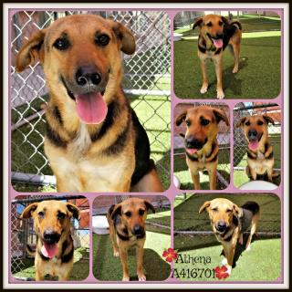 GERMAN SHEPHERD DOG Female  Adult  Dog #A416701#  Animal Care Services (San Antonio) - click here to view larger pic