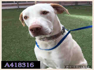 Mix-Bred LABRADOR RETRIEVER Male  Adult  Dog #A418316#  Animal Care Services (San Antonio) - click here to view larger pic