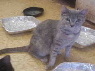 <u> Mix-Bred DOMESTIC SHORTHAIR Female  Young  Kitten </u>