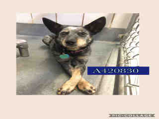 Mix-Bred AUSTRALIAN CATTLE DOG Female  Adult  Dog #A420830#  Animal Care Services (San Antonio) - click here to view larger pic
